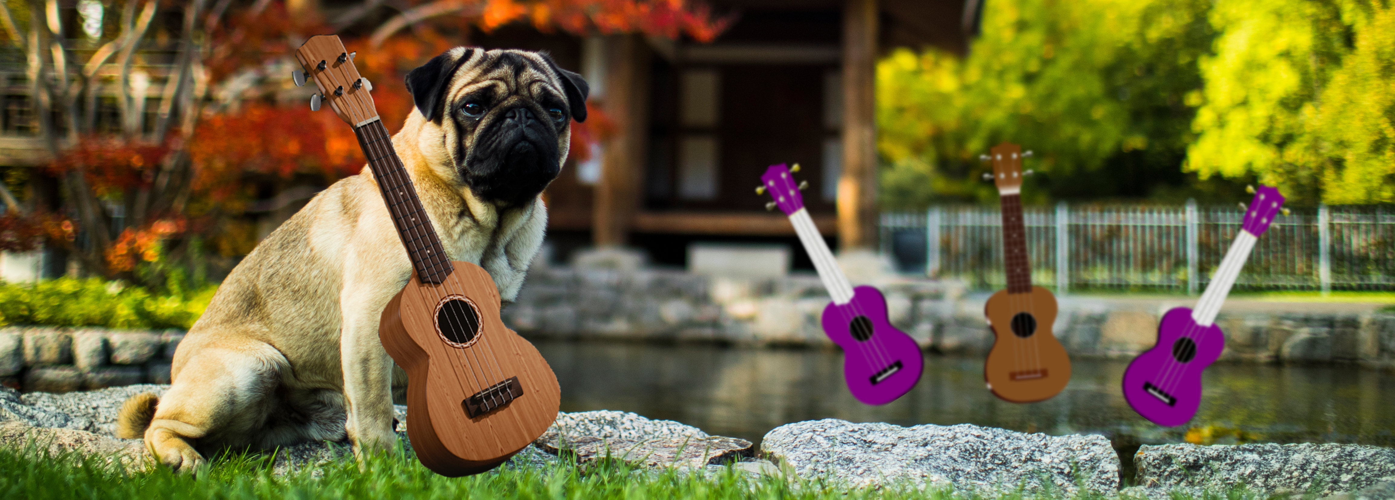 A pug playing a ukulele in this picture